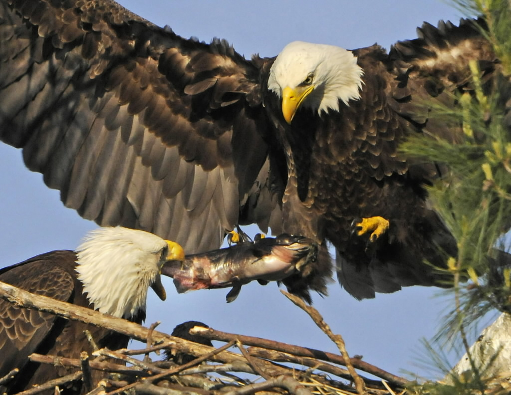 Once vanished from Massachusetts bald eagles get their day  The