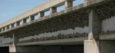Cliff Swallow Colony.jpeg