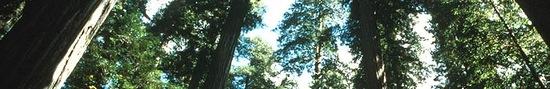 redwoods2.jpeg
