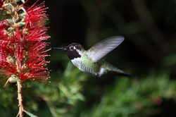Hummingbird_in_ggp_7.jpg