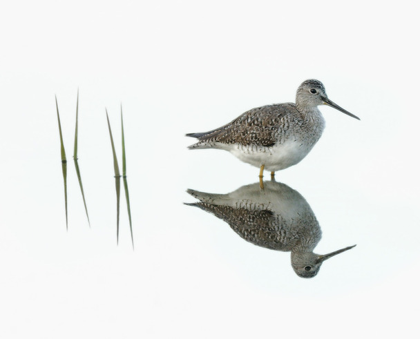 Yellowlegs Reflection