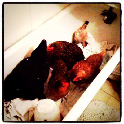 bathtub-chickens-trend2.jpg