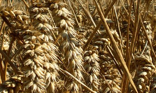 wheat gluten-free diets.jpg