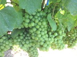 Grapes at Bedell.jpg