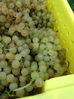 Chard grapes_Turtle Creek_100613.jpg