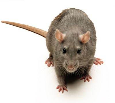 [Image: rat.jpg]