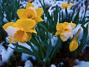 snow-covered-daffodil-flowers.jpg