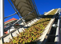 olives conveyed to press.jpg