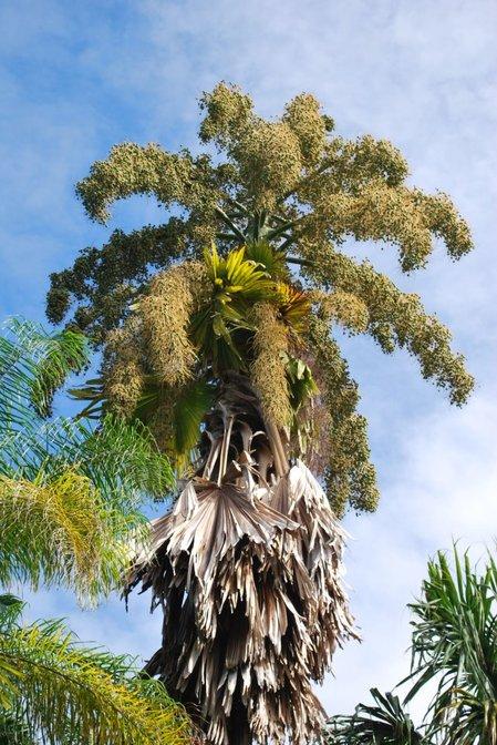 Talipot palm.jpg