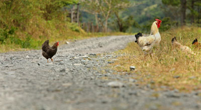 chicken%20and%20road.jpg