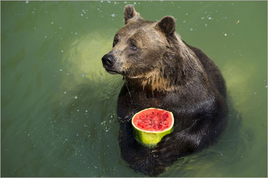 Here s a picture of a bear eating a frozen watermelon globe trotting